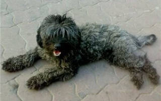 Порода собаки смесь пуделя и болонки: кудрявый щенок