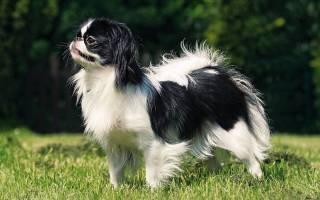 Японский хин — описание породы и характер собак
