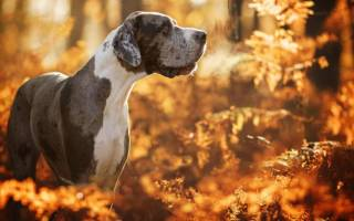 Где была выведена порода собак дог?