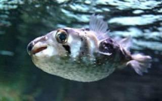 Рыба еж описание для детей