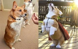 Корги собака описание породы плюсы и минусы