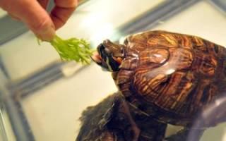Черепаха хищник или травоядное