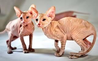 Петерболд кошка описание породы и характера