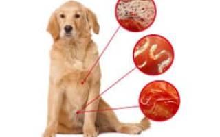 Как узнать есть ли у щенка глисты – признаки заглистованности у собак