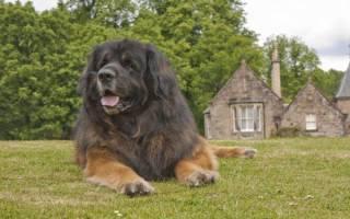 Порода собак леонбергер фото цена