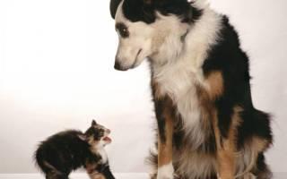 Как приучить котенка к собаке в доме?