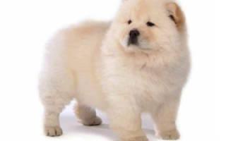 Чао чао собака фото цена щенка, чайной чоу