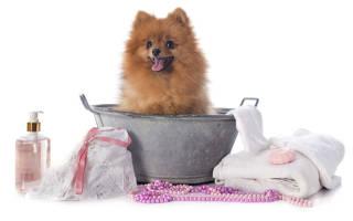 Как помыть щенка шпица?