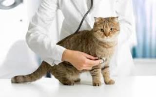 Перед кастрацией кота что надо делать