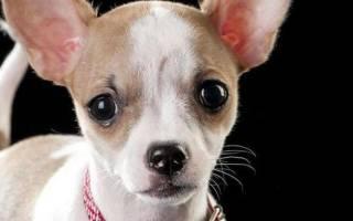 Слезится глаз у собаки что делать
