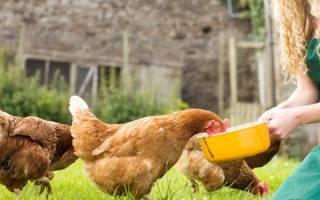 Сколько зерна нужно курице в день?