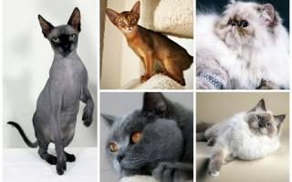 Какие породы кошек самые популярные в России?