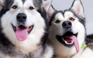Какая порода собак похожа на хаски?