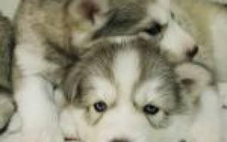 Как правильно выбрать щенка хаски при покупке?