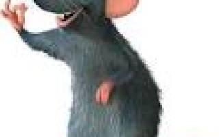 Как определить возраст крысы?
