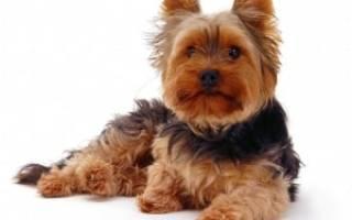Порода собак йоркширский терьер описание породы, yorkshire terrier
