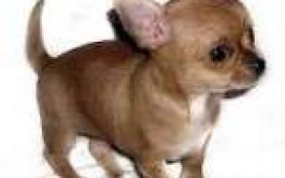 В каком возрасте лучше брать щенка чихуахуа?