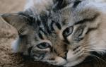 У беременной кошки твердый живот