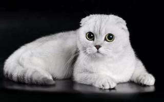 Вислоухие котята описание породы характер