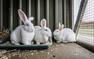 Кролики калифорнийской породы в каком возрасте спаривать?