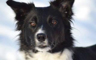 Ячмень на глазу у собаки лечение