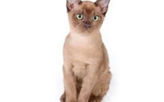 Котенок породы бурма сколько стоит?