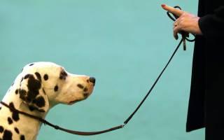 Как приучить взрослую собаку к поводку?