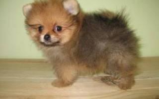 Собака породы померанский шпиц карликовый цена фото, о шпицах