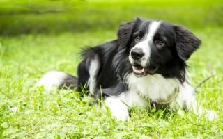 Бордер колли самая умная собака в мире, border collie
