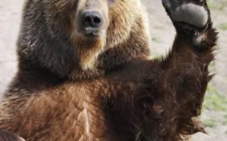 Сколько лет живут медведи в природе?