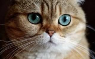 Шотландская вислоухая кошка описание породы и характера