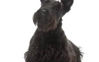 Скотч терьер описание породы – шотландские собаки