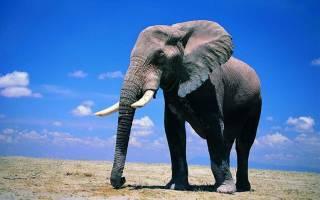 Сколько весит самый большой слон в мире?