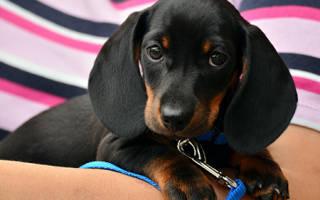 Можно ли выгуливать щенка до первой прививки?