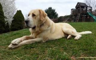 Что за порода собак алабай?