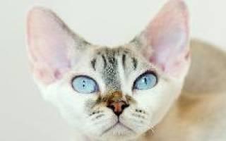 Девон рекс кошка описание породы характер