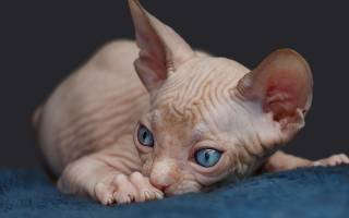 Породы кошек которые не линяют не лысые?