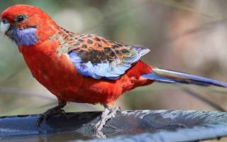 Попугай розелла описание