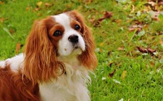 Чем лечить блошиный дерматит у собак?