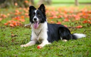 Черно белая собака порода бордер колли