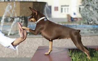 Как воспитывать щенка той терьера?