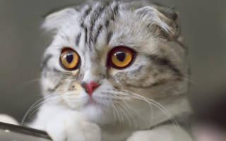 Породы кошек которые любят сидеть на руках?