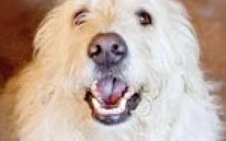 Как научить собаку говорить?
