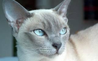 Тонкинская кошка описание породы