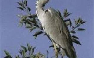 Цапля перелетная птица или нет