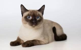 Тайские коты описание породы характер