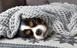 Простуда у чихуахуа симптомы и лечение – может ли собака простыть?