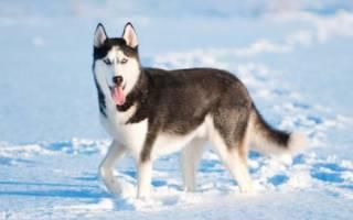 Как появилась порода собак хаски?