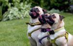 Как воспитывать щенка мопса?