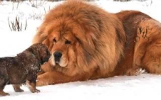 Тибетский мастиф фото и цена вес рост – тибет собака